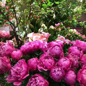 芍薬の季節