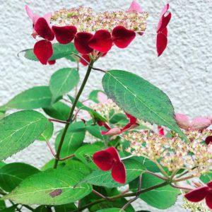 山紫陽花「紅」