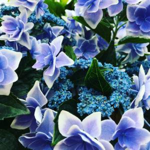紫陽花ガーデン